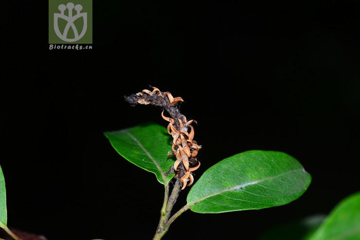Salix paraplesia