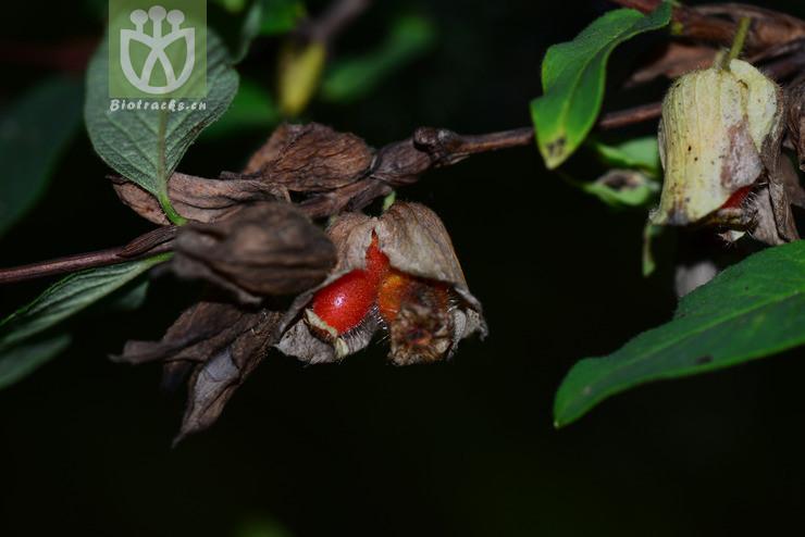 Lonicera stephanocarpa
