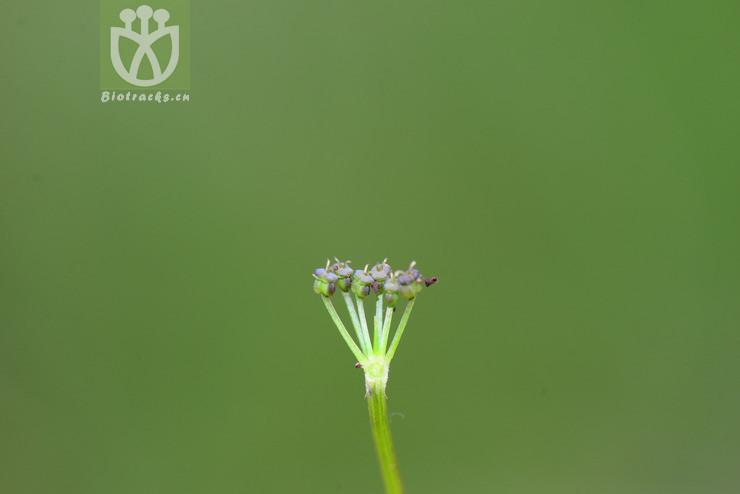 Tongoloa peucedanifolia