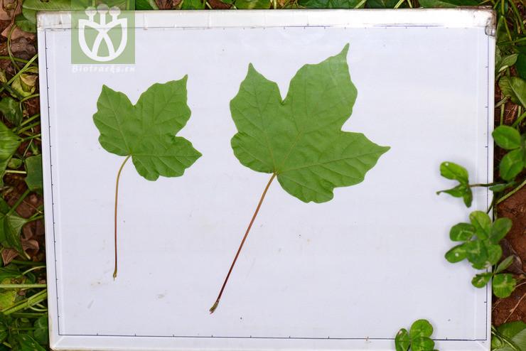 Acer miaotaiense