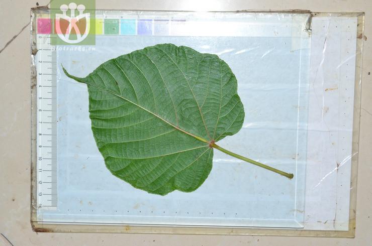 Byttneria elegans