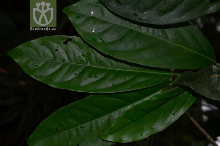 Salacia cochinchinensis