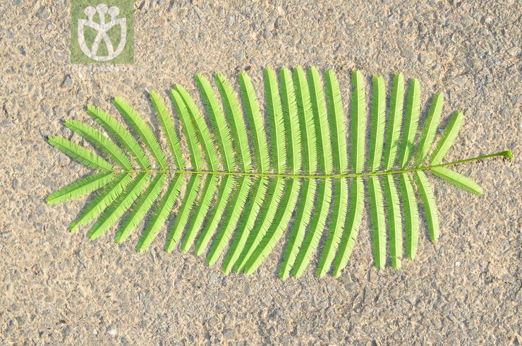 Acacia caesia