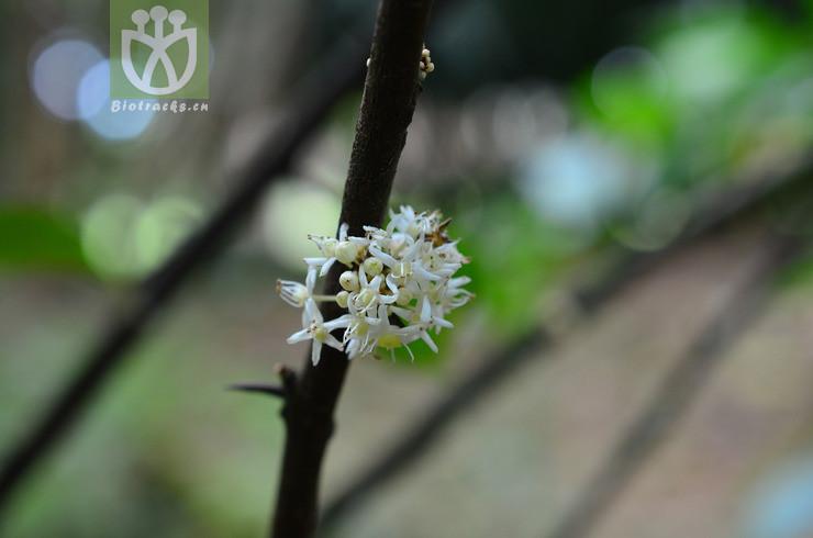Maytenus guangxiensis