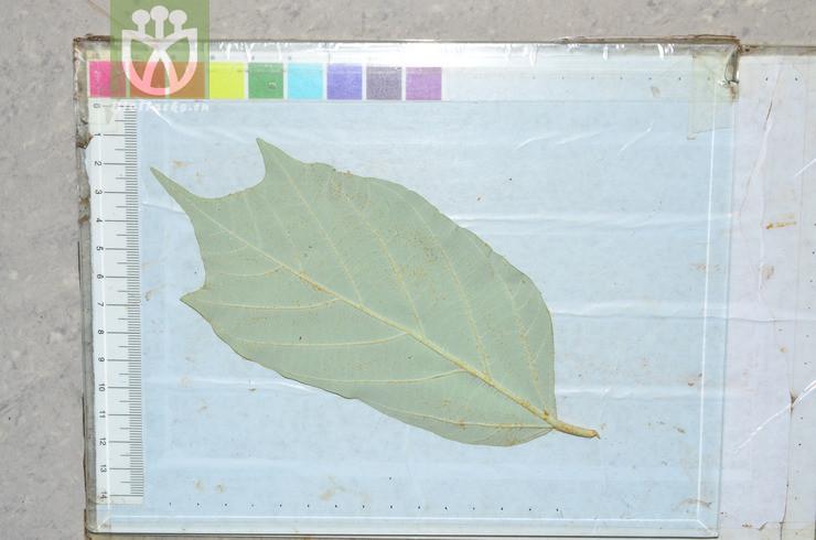 Pterospermum kingtungense