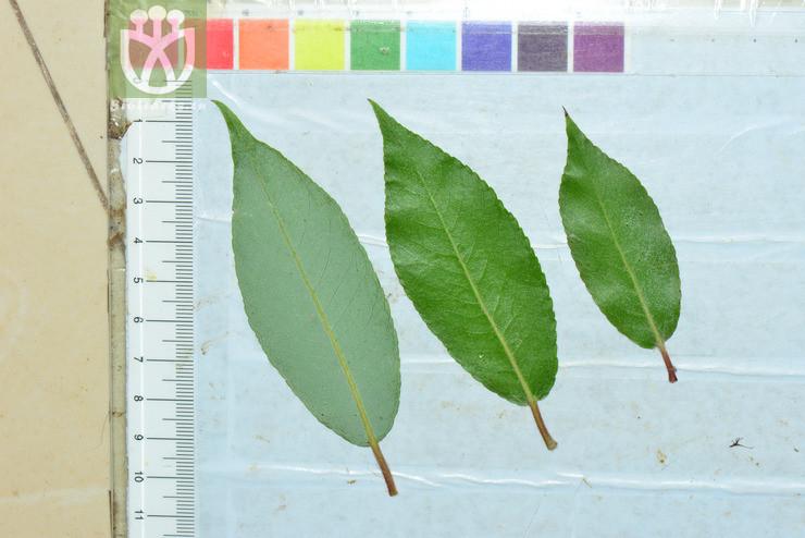 Salix disperma