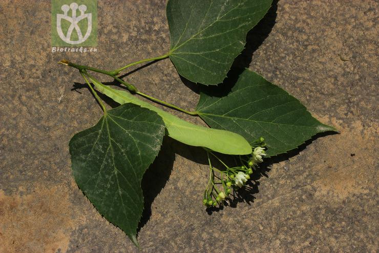 Tilia paucicostata