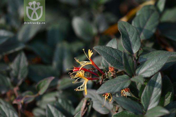 Lonicera japonica var. chinensis