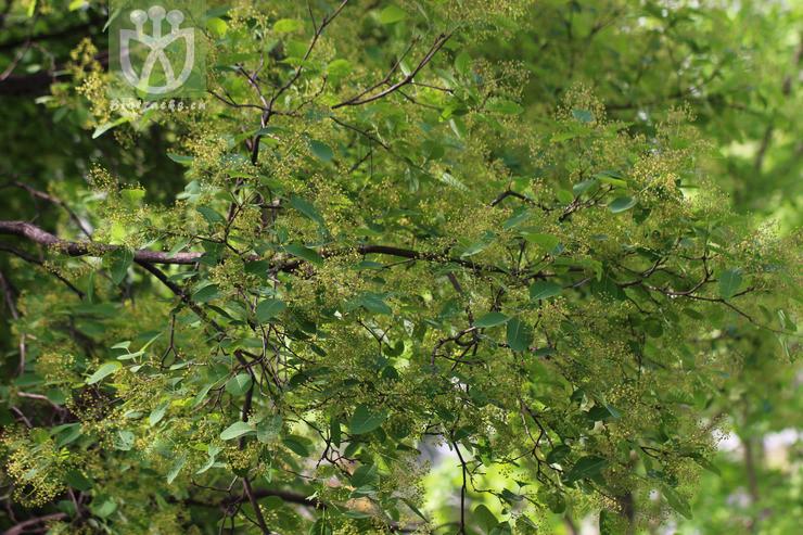 Cotinus coggygria var. glaucophylla