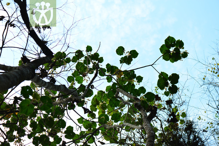 Hibiscus macrophyllus