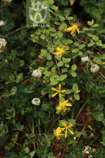 Hypericum longistylum