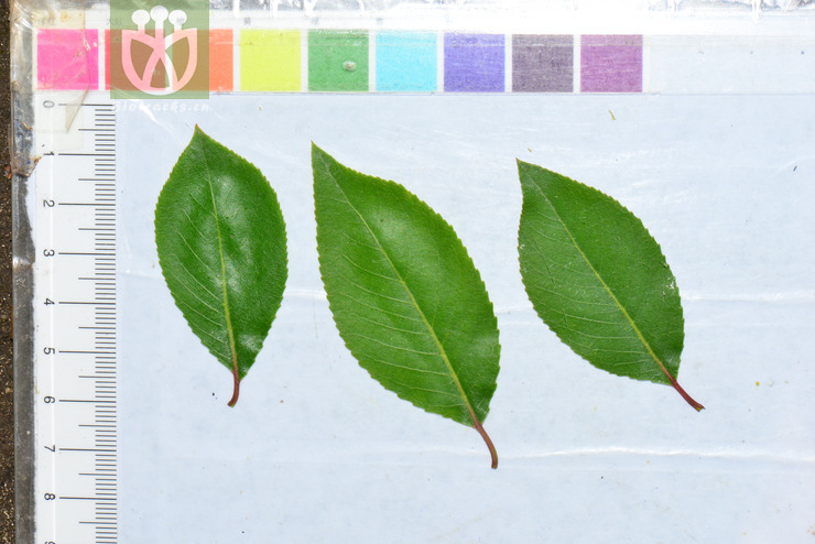Salix wilsonii