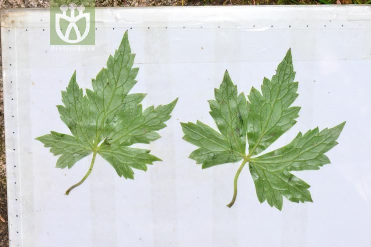 Aconitum henryi