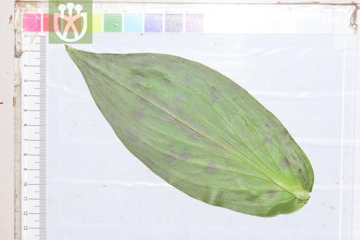 Corchorus polygonatum