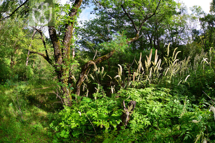Actaea simplex