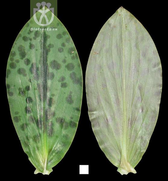 Tricyrtis pilosa