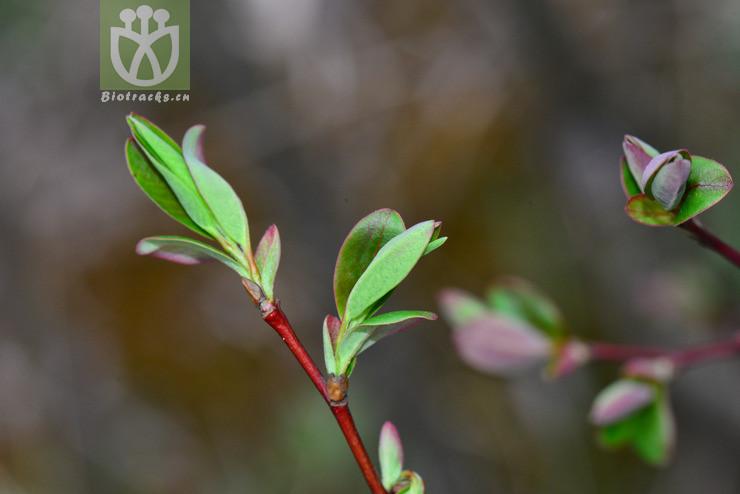 Salix hypoleuca