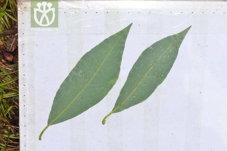Salix heterochroma var. heterochroma