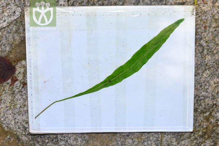 Lepisorus marginatus