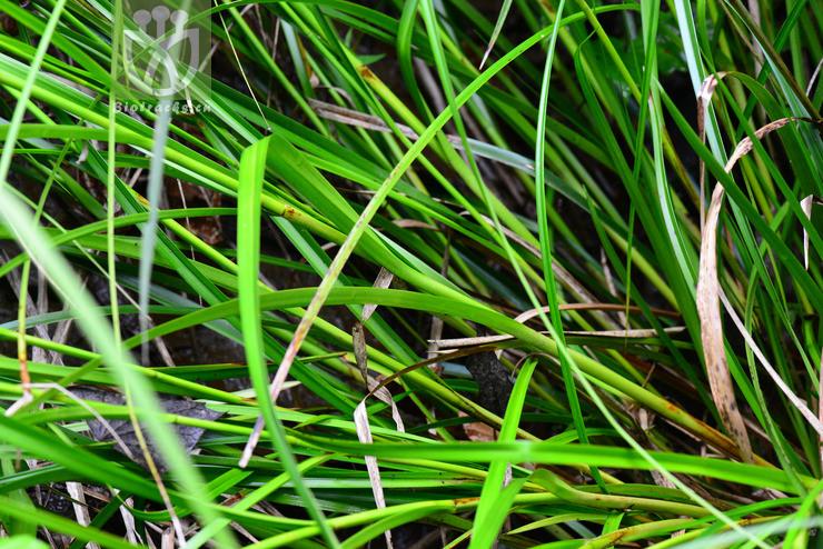 Scirpus rosthornii