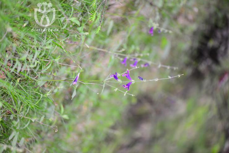 Salvia hupehensis