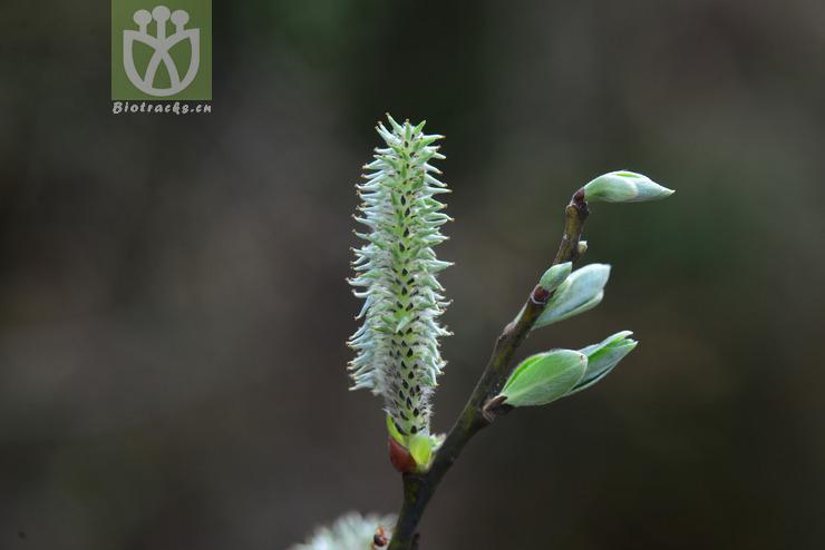 Salix wallichiana var. pachyclada