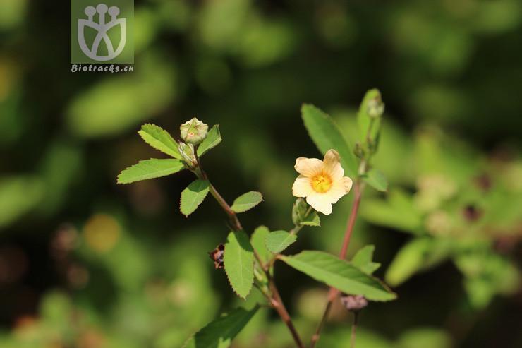 Sida alnifolia