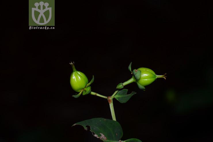 Hypericum bellum