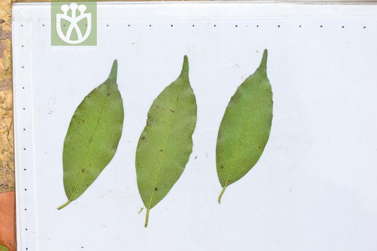 Prunus spinulosa