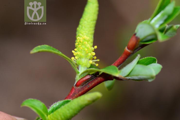 Salix inamoena