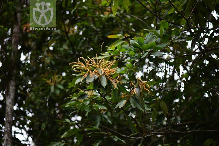 Lithocarpus trachycarpus