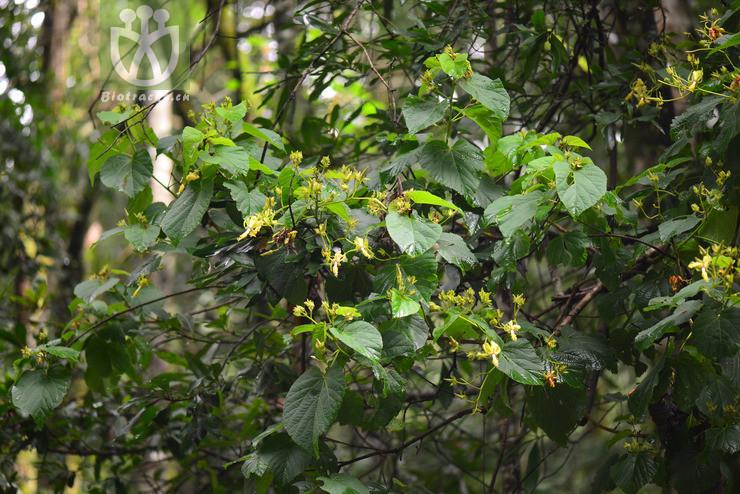 Eriolaena glabrescens