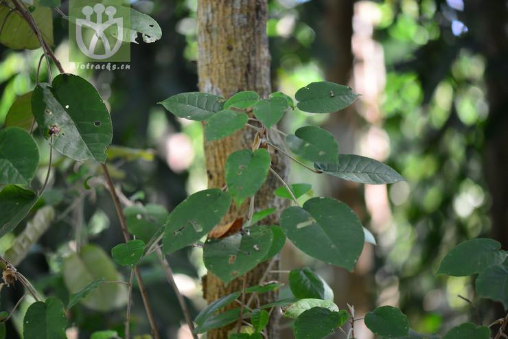 Croton punctatus