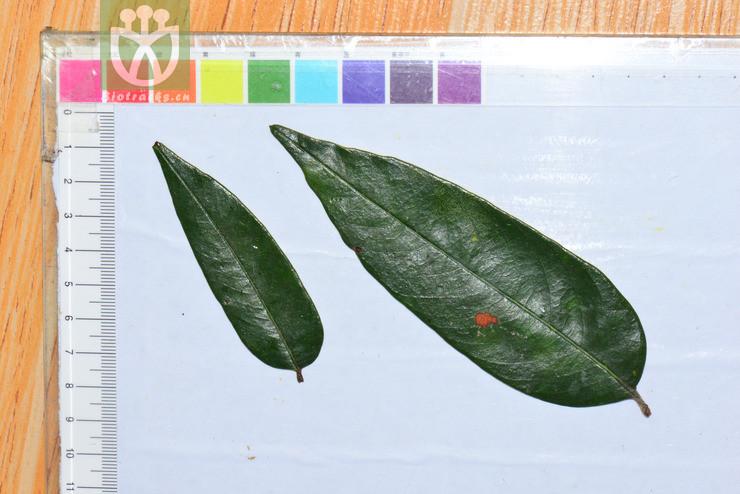 Castanopsis hystrix
