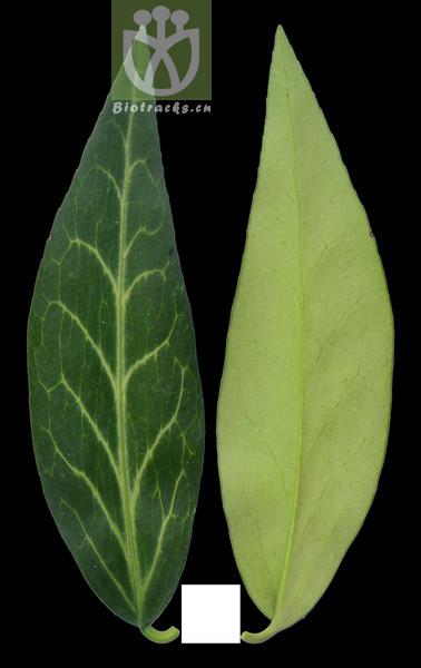 Euonymus venosus