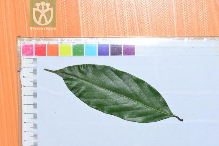 Lithocarpus pseudoreinwardtii