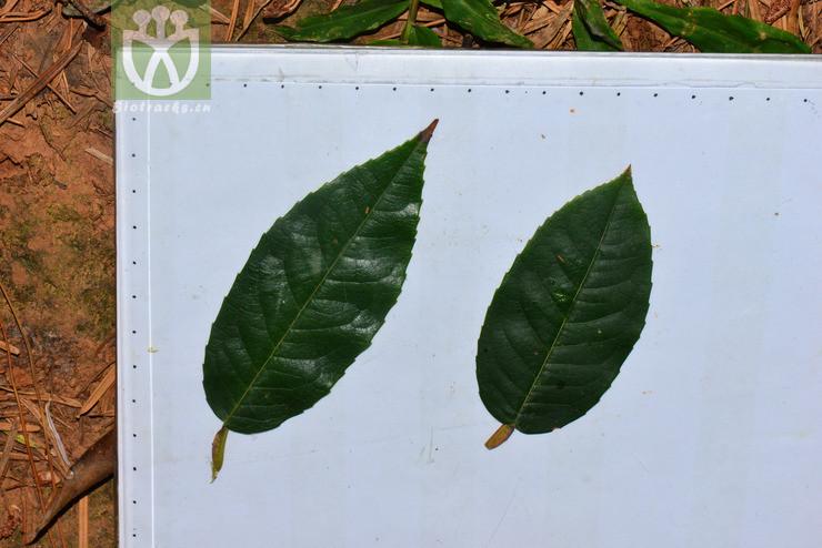 Stewartia calcicola