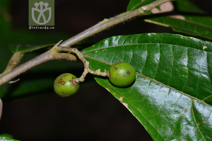 Grewia tiliaefolia