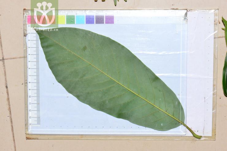 Michelia sphaerantha