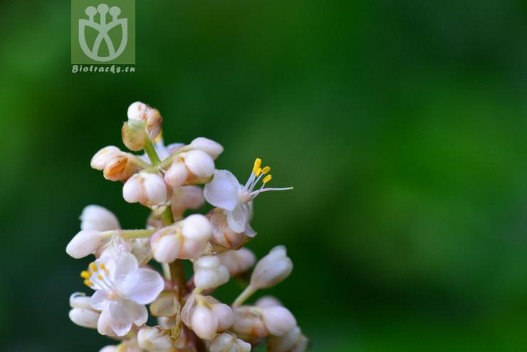Pollia glaucescens