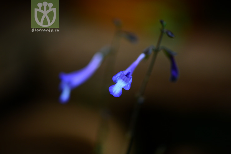 Salvia sonchifolia