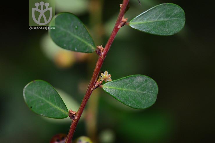 Phyllanthus forrestii