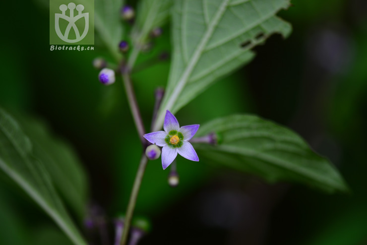 Lycianthes marlipoensis