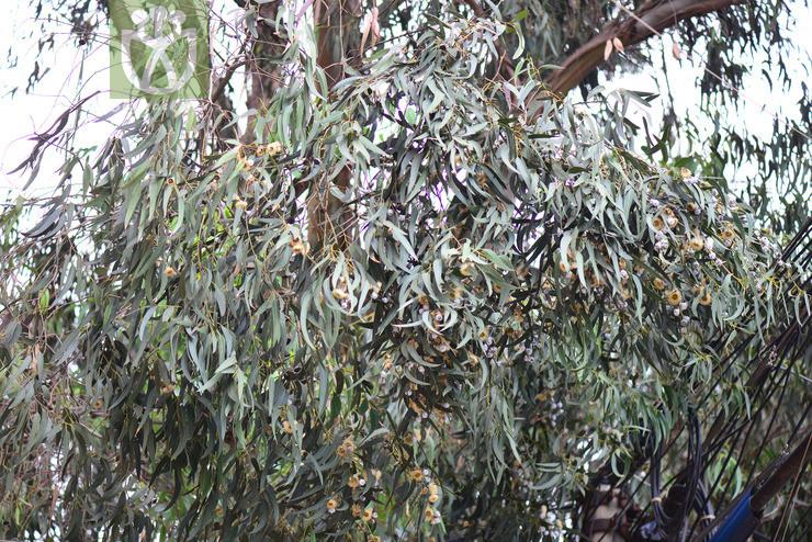 Eucalyptus globulas