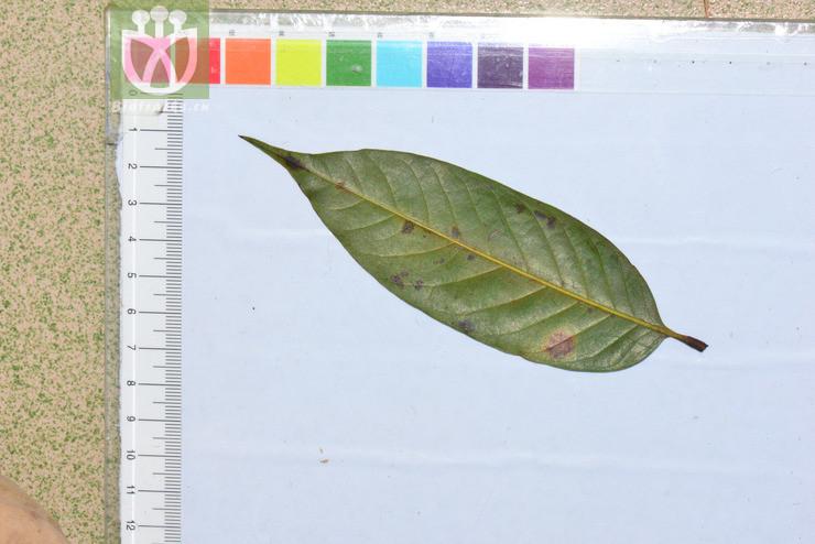 Castanopsis ferox