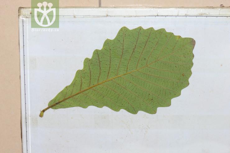 Quercus dentata subsp. yunnanensis