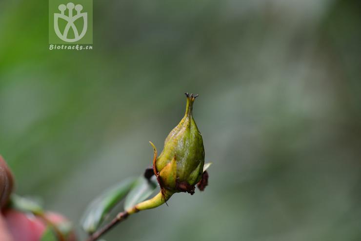 Hypericum acmosepalum