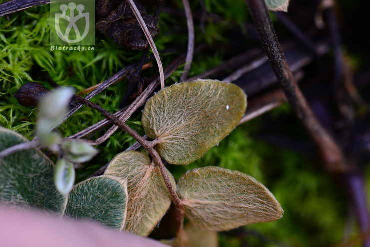 Paragymnopteris bipinnata var. auriculata