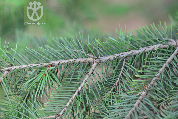 Abies taxifolia