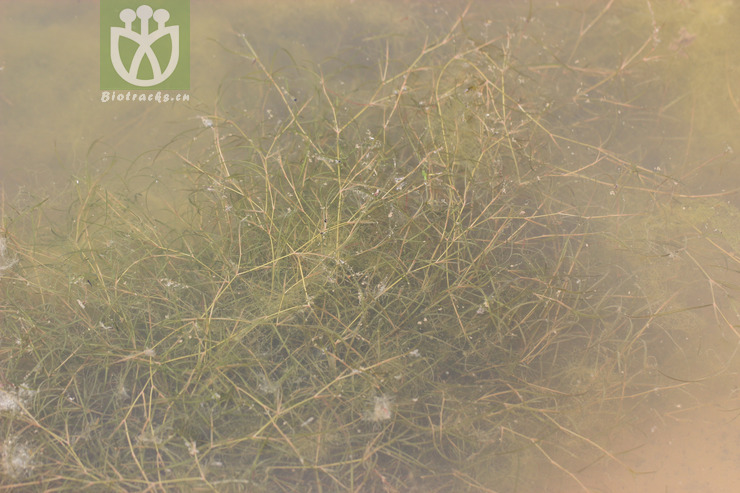 Potamogeton panormitanus var. minor